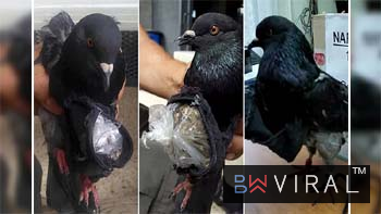 Pigeons Are Now Used For Drug Smuggling.